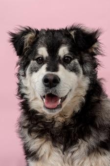 ピンクの背景に正面かわいい犬