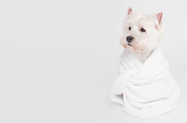 タオルに座っているかわいい小型犬