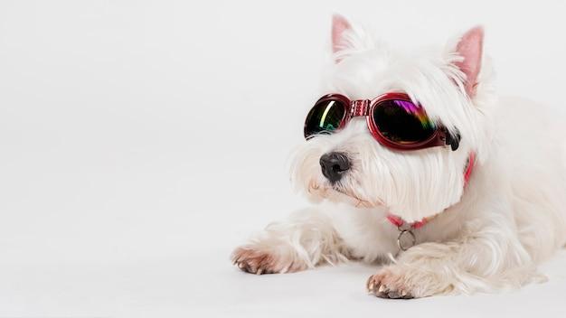 メガネを掛けたかわいい小型犬