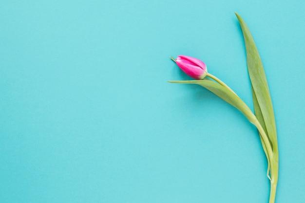 青いコピースペースの背景にトップビュー分離チューリップの花