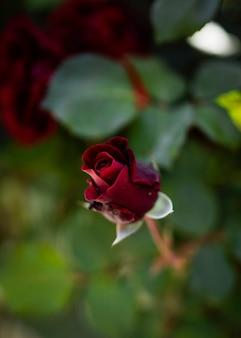 自然に咲く春のバラ