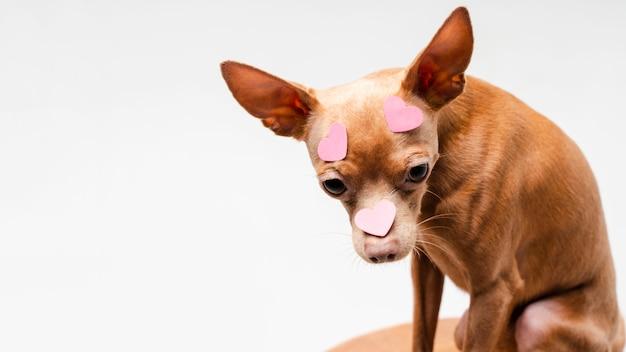 Милая маленькая собака чихуахуа, глядя в сторону