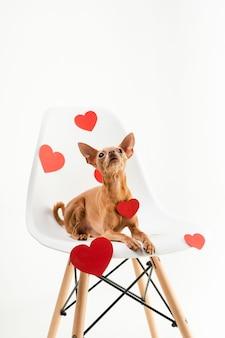 Портрет крошечной собаки чихуахуа, сидя на стуле
