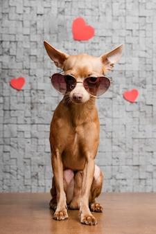 Милая маленькая собака чихуахуа в окружении сердец