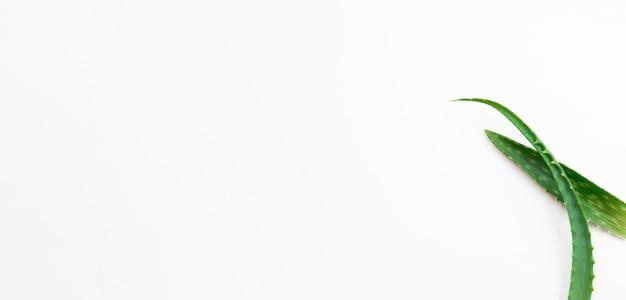 コピースペースホワイトバックグラウンドとアロエベラの葉