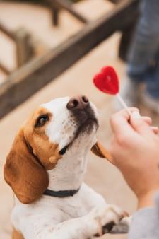 Собака смотрит на сердце леденец