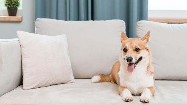自宅のソファに愛らしい、かわいい犬