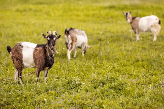 Козы на траве поля