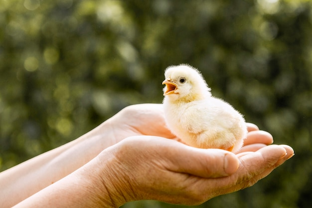 Маленькая курица в руках