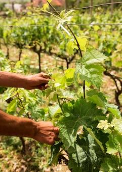 Рука крупным планом, собирающая виноградную лозу