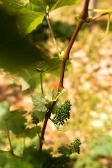 Крупный план немного незрелого винограда