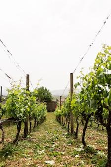 Красивый виноградник в сельской местности