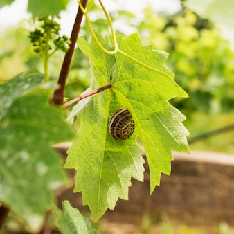 Улитка на листьях виноградной лозы