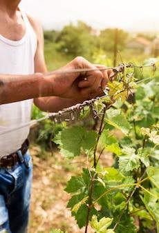 Крупным планом человек, работающий на виноградной лозе