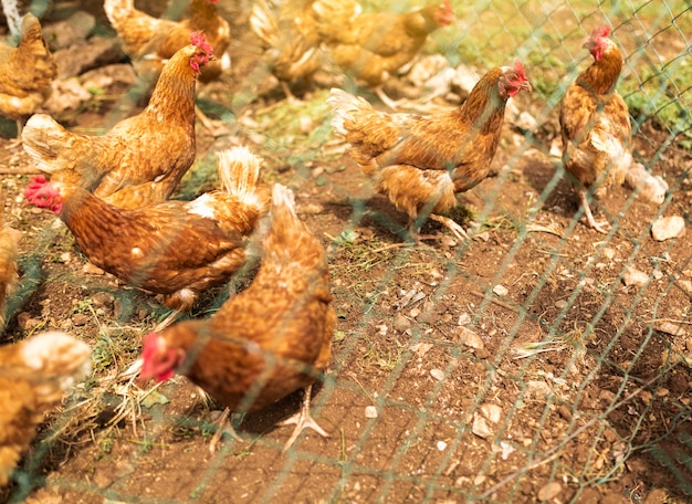 フェンスの後ろに鶏の群れ