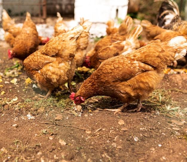 食べる鶏の群れ