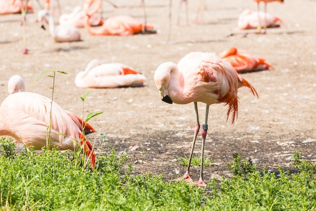 Большой фламинго, хорошая розовая большая птица, животное в естественной среде обитания