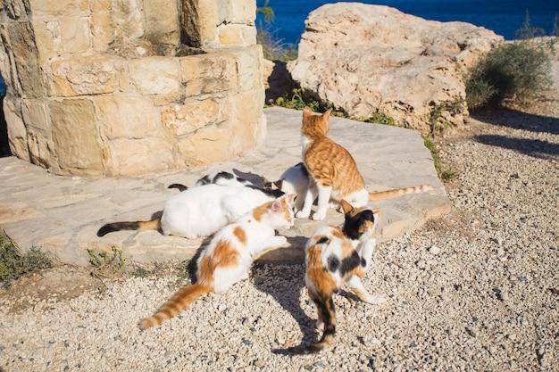 キプロスの猫。ホームレスの動物の概念