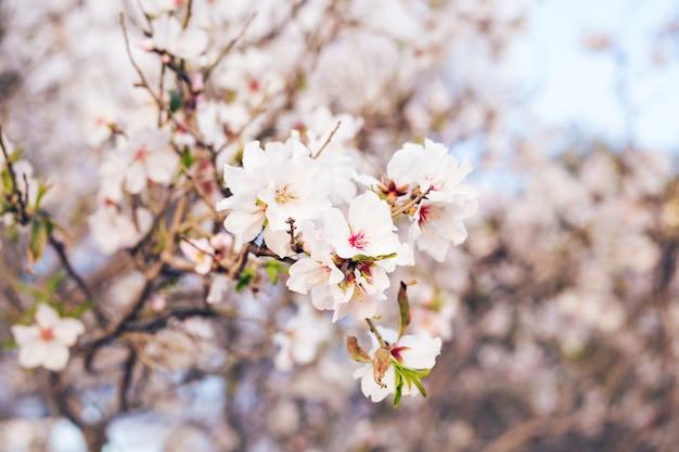 Концепция весны. миндальные цветы.