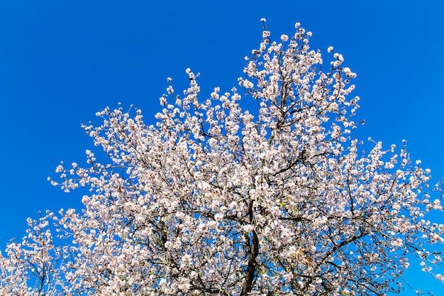 Деталь ветви и миндалины цветет весной.