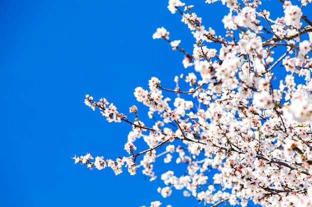 Красивые цветы миндаля, голубое небо