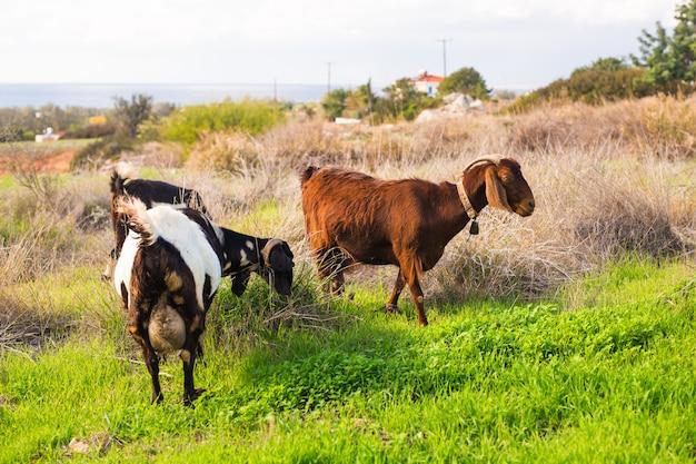 自然の緑の牧草地の羊