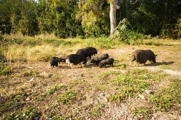 Дикий черный кабан или свинья. дикая природа в естественной среде обитания.
