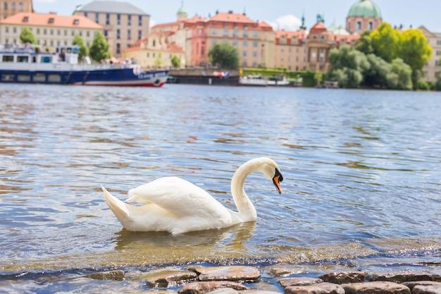 カレル橋の近くにあるチェコ共和国の首都プラハのヴルタヴァ川の白鳥。