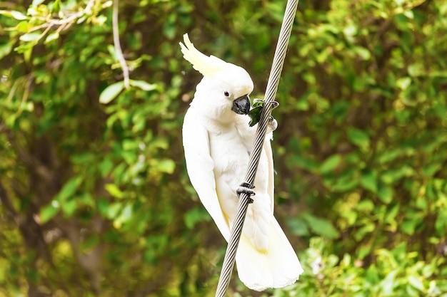 Красивый белый какаду