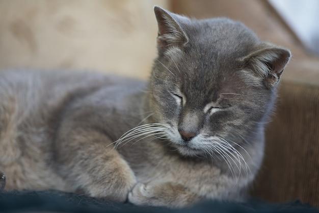 ソファの上のクッションの近くで寝ている灰色の短い髪の猫
