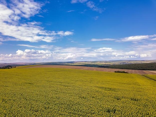 雲一つない青空と咲く黄色いヒマワリフィールドの上空を飛んでいます。白いふわふわの雲と青い空の下のひまわり畑。