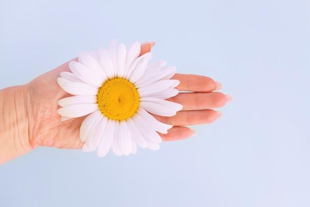 柔らかい女性の手はカモミールのフィールドブランチを保持します
