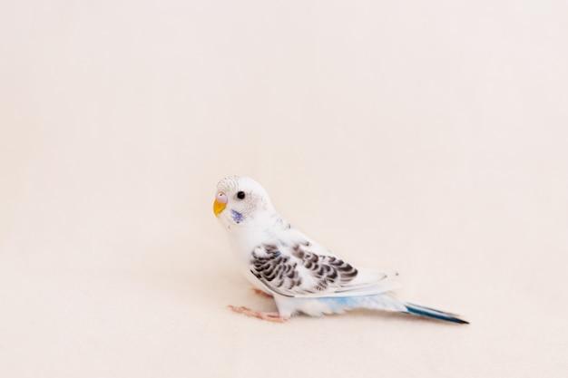 Белый волнистый попугайчик на белом фоне