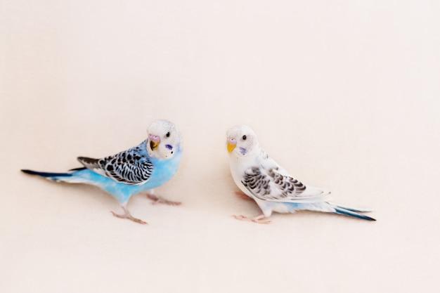 Волнистые попугайчики белого и синего цвета на белом фоне