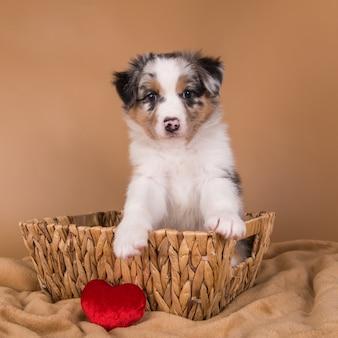バスケットに赤いメルルオーストラリアンシェパードの子犬