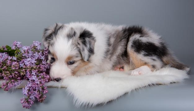 レッドメルルオーストラリアンシェパードの子犬ライラックの花