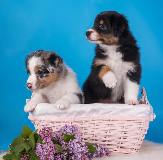 Два щенка австралийской овчарки загар и мерль