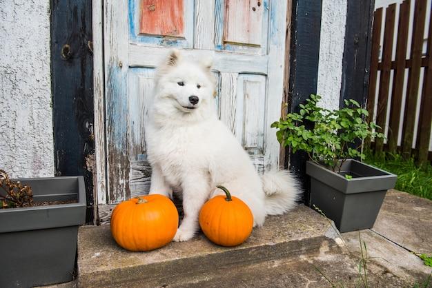 Белая смешная собака самоеда с хэллоуин тыквы.