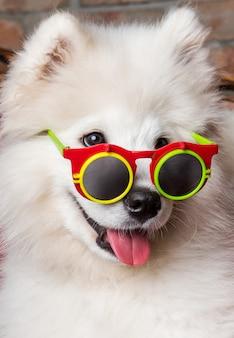 Забавный белый щенок самоеда с очками