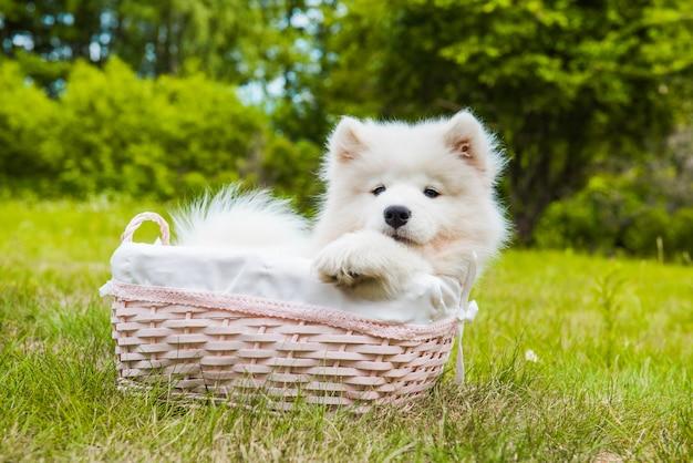 Забавный щенок самоеда в корзине на зеленой траве