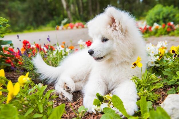Забавный щенок самоеда в саду на зеленой траве с цветами