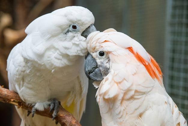 Прекрасная пара белых какаду попугаев на ветке