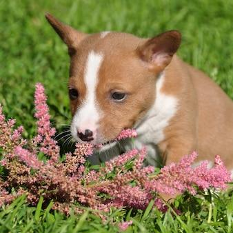 かわいい赤いバセンジー犬の子犬と花