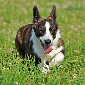 草の上のウェールズのカーディガンコーギー犬