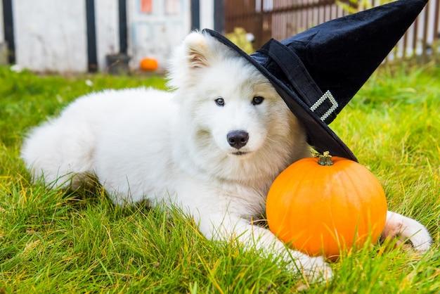 Белая самоедская собака в шляпе с тыквой на хэллоуин