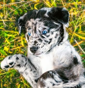 異なる色の目で面白いラブラドール子犬犬