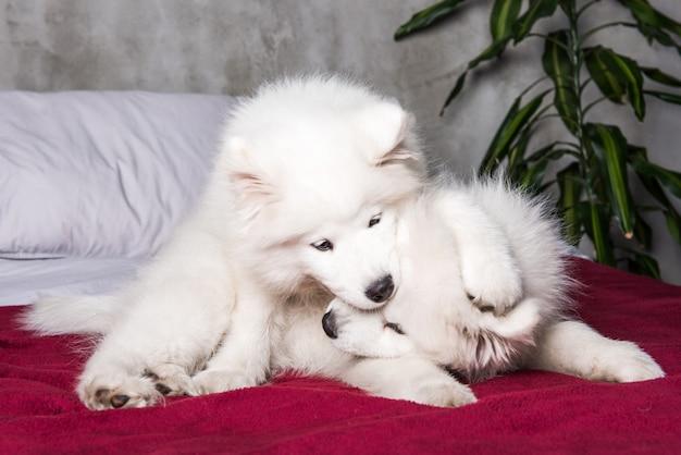 Два щенка самоеда играют в постели