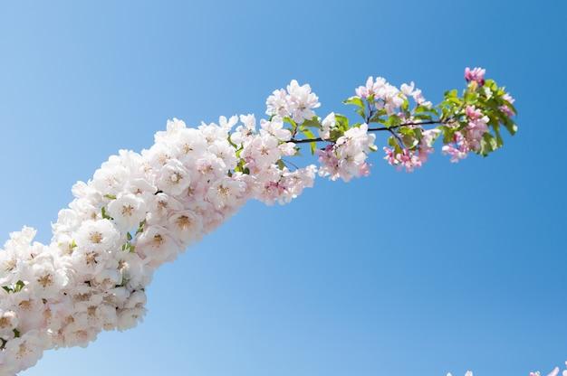 Белые цветы цветущей яблони