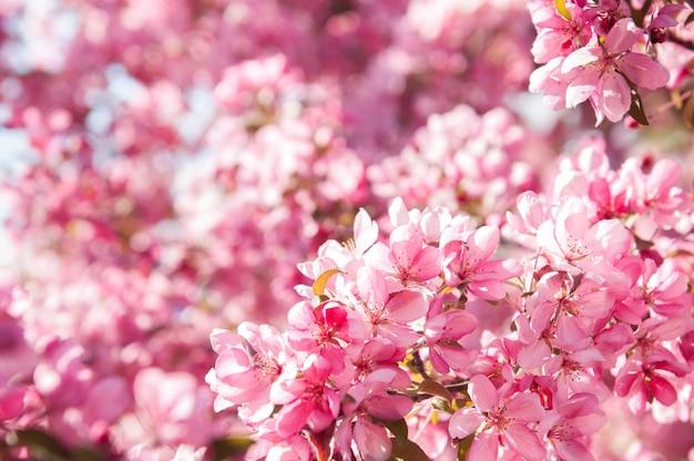 Розовые цветы цветущей яблони