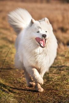 Белый пушистый щенок самоеда бежит на улицу